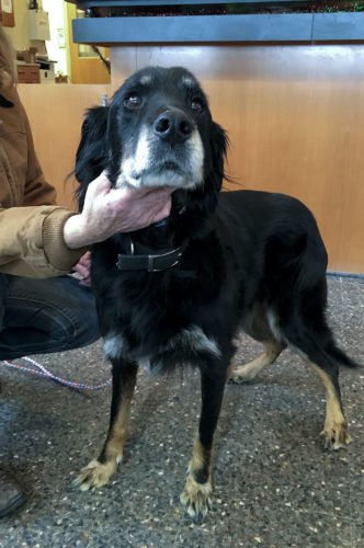 Zeus, a 14-year-old collie/retriever/setter mix, is available for adoption at the Esther Boyd Animal Shelter in Winchester.   Brad Fauber/Daily